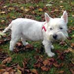 Millie, a West Highland Terrier, is ona lead in the park